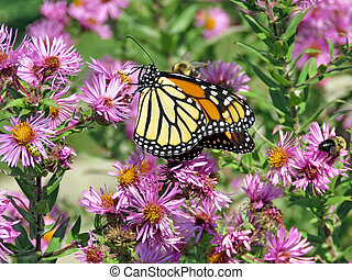 Toronto High Park Monarch and bee on the wild aster 2017