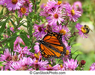 Toronto High Park Monarch and bee on wild aster 2017