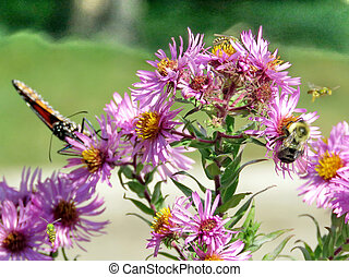 Toronto High Park Monarch and bee on wild asters 2017