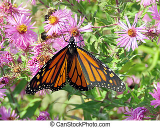 Toronto High Park Monarch and bees on a wild aster 2017