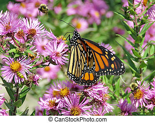 Toronto High Park Monarch and bees on wild asters 2017
