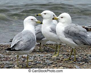 Toronto Lake gulls 2016