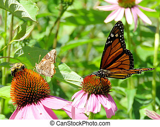Toronto Lake Monarch and other insects on purple coneflower 2017