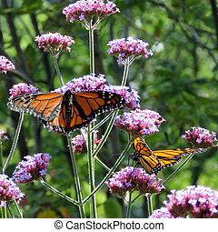 Toronto Lake Monarch butterflies on the verbena flowers 2017
