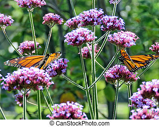 Toronto Lake Monarch butterflies on verbena flowers 2017