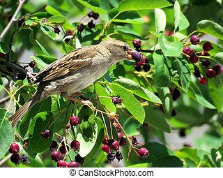 Toronto Lake sparrow 2016
