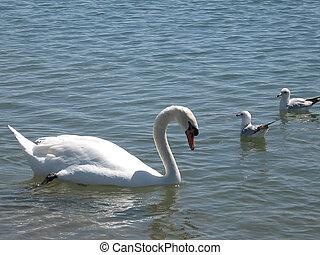 Toronto Lake Swan and Two Gulls 2007