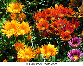 Toronto Lake the multicolored daisies 2016