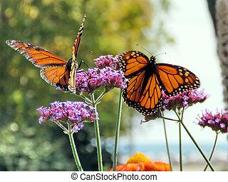 Toronto Lake two Monarch butterflies on a purple flower 2017