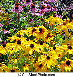 Toronto Lake yellow and purple daisies 2016