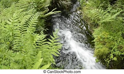 Torrent and fern - Small torrent flowing between the green...