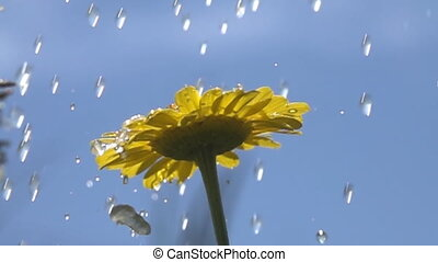 Torrential rain over the yellow Daisy. Lonely Daisy. The view from the bottom. Super slow motion 1000 fps