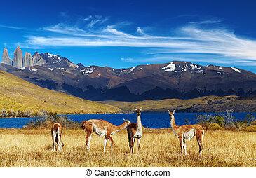 Guanaco in Torres del Paine National Park, Laguna Azul, Patagonia, Chile