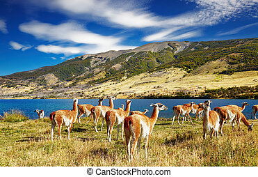 Torres del Paine, Patagonia, Chile - Guanaco in Torres del ...