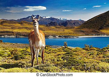 Torres del Paine, Patagonia, Chile - Guanaco in Torres del...