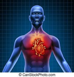 torso humano, con, corazón rojo, anatomía