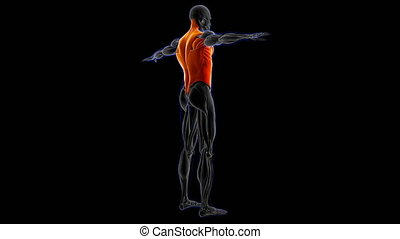 3D Illustration, Muscle is a soft tissue, Muscle cells contain proteins , producing a contraction that changes both the length and the shape of the cell. Muscles function to produce force and motion.
