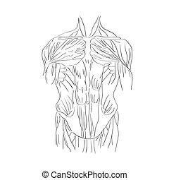 torso muscles front
