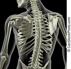 torso, van, een, medisch, skelet