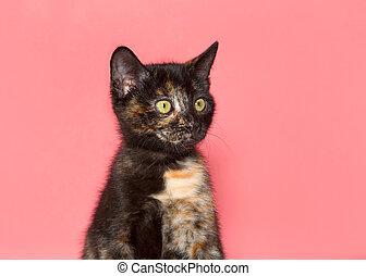 Tortie kitten looking to viewers right pink background