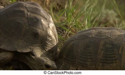 Tortoise (Testudines). A distinctive feature of turtles is the shell, which consists of two parts: the carapace and plastron, and serves as the main defense against enemies.