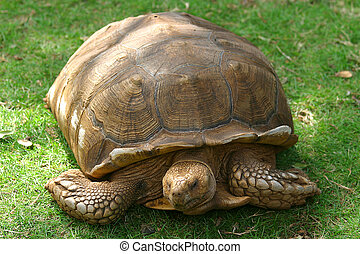 A Galapagos giant tortoise resting in the sun