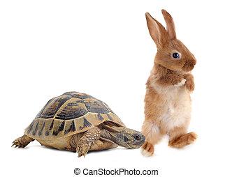 Tortoise and rabbit - Testudo hermanni tortoise and rabbit...