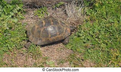 Tortoise crawling green grass
