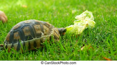 Tortoise eating food in home yard 4k