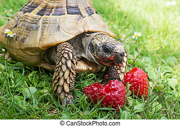 Tortoise eating ripe strawberries, closup.