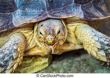 Tortoise Geochelone sulcata takes food