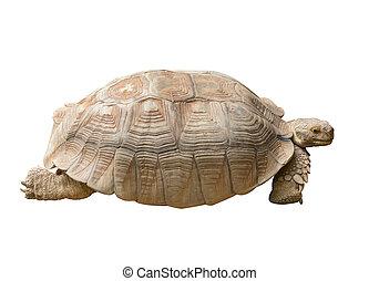 Tortoise Isolated on White Background