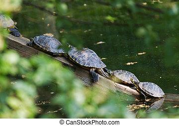 tortoise on lake