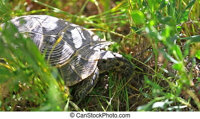 Tortoise sits in the grass - Small turtle sits in a green...
