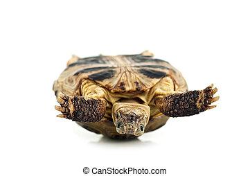 tortoise - inverted tortoise isolated on white background