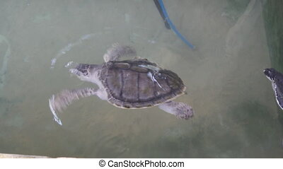 Tortoise swims in aquarium. Sea turtle in reserve.