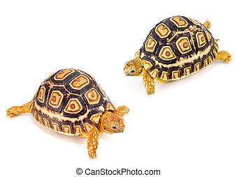 Tortoises Meeting - two young tortoises - Geochelone...