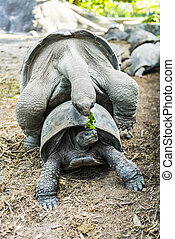 tortoises, parre