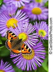 Tortoisesehell butterfly on Aster flowers - Small...