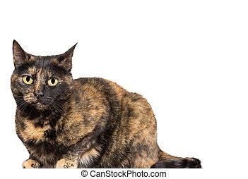 tortoiseshell, 貓