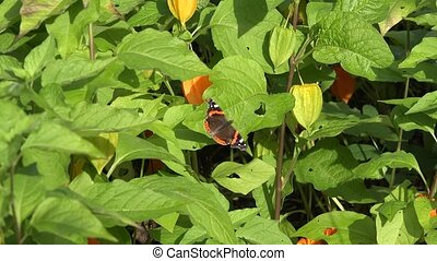 Tortoiseshell Aglais urticae tabby butterfly sit on husk...