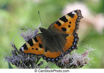 Tortoiseshell butterfly sitting on plant