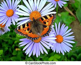 tortoiseshell butterfly - Tortoiseshell butterfly on a daisy