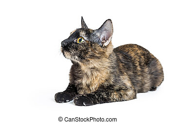 Tortoiseshell Cat Lying Facing Side - Young tortoiseshell...