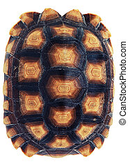 Tortoiseshell on a white background.