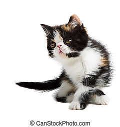 Tortoiseshell persian cat - Tortoiseshell persian kitten...