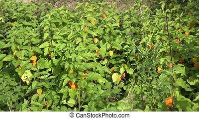 Tortoiseshell tabby butterfly sit on husk tomato leaves. 4K...