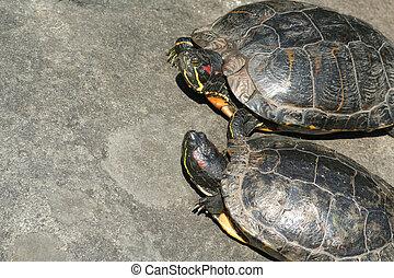 tortue, bains de soleil