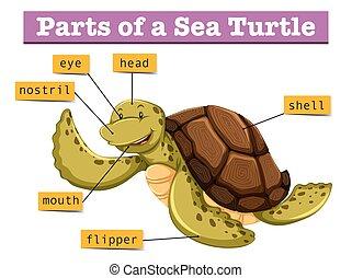 tortue, diagramme, différent, parties, projection