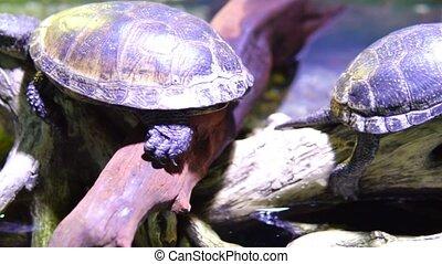 tortue, eau, arbre, séance